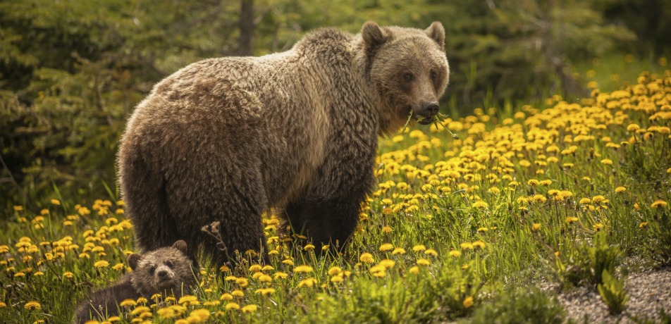 Bears in British Columbia, Canada
