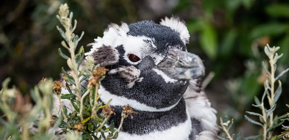 Penguin on Isla Martillo, Chile