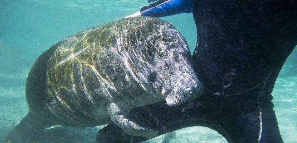 Manatee and snorkeler
