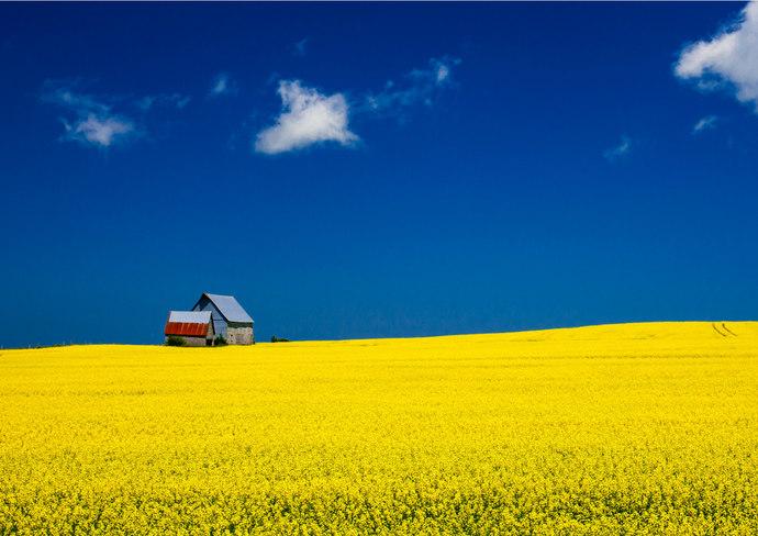 Mustard Fields in Prince Edward Island