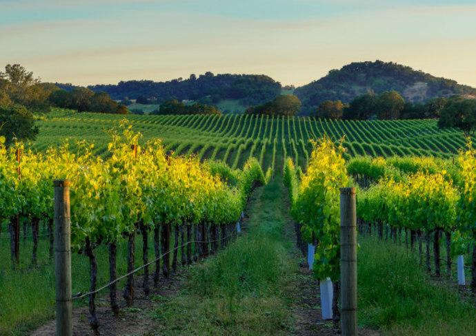 Vineyard in Sonoma