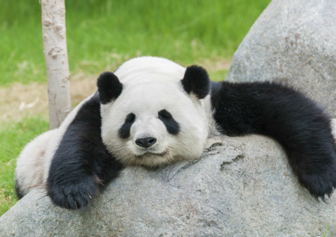 Live Panda Cam