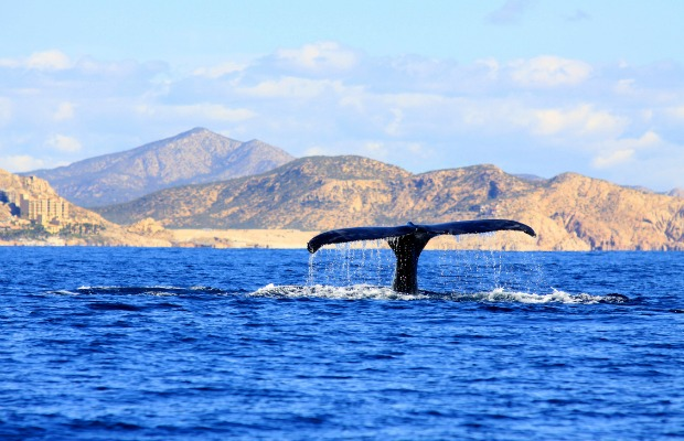 Whale in Cabo San Lucas, Mexico