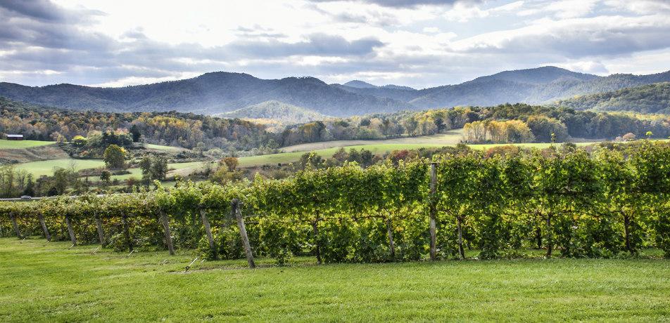 Vineyard in Virginia